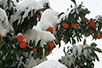 In Hilandar, oranges under snow (Photo: monk Milutin)